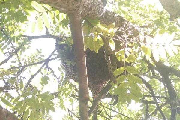 Ausgeschwärmtes Honigbienenvolk (lat. Apis mellifera) auf einem Privatgrundstück