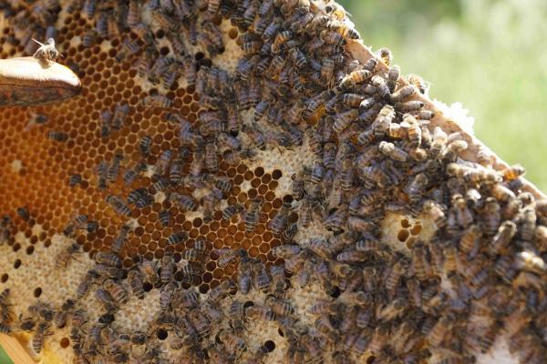 Detailaufnahme des Wabenrähmes mitsamt Bienenvolk