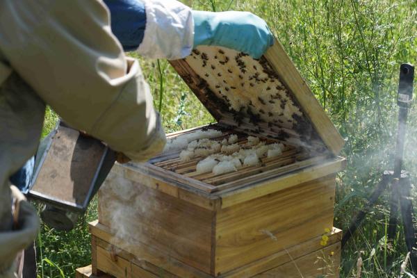 Rauch zur Beruhigung des Bienenvolks
